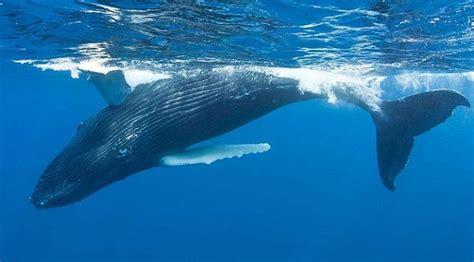 Las ballenas azules son diestras a profundidad y zurdas en ...