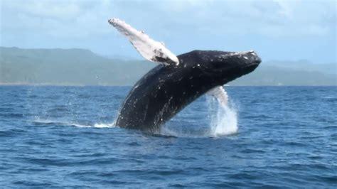 Las Ballenas Jorobadas de Samanà 2014 02 11  balene ...