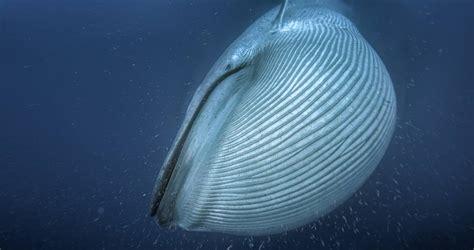Las ballenas se volvieron gigantes debido a la glaciación ...
