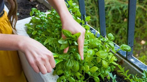Las hierbas aromáticas que no pueden faltar en tu cocina ...