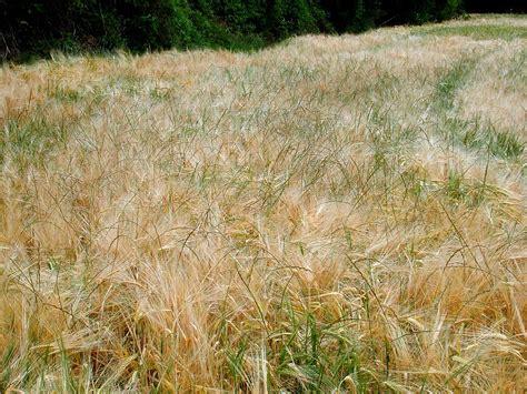 Las malas hierbas aprenden a defenderse del glifosato
