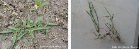Las malas hierbas en la huerta   Plantas