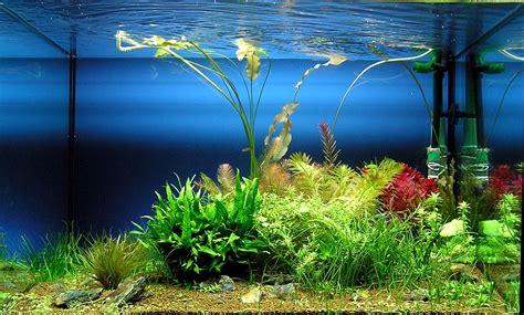 Las mejores algas para decorar tu acuario casero de peces