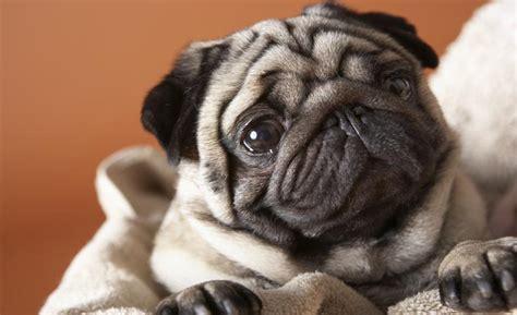 Las mejores razas de perros para apartamentos   IMujer