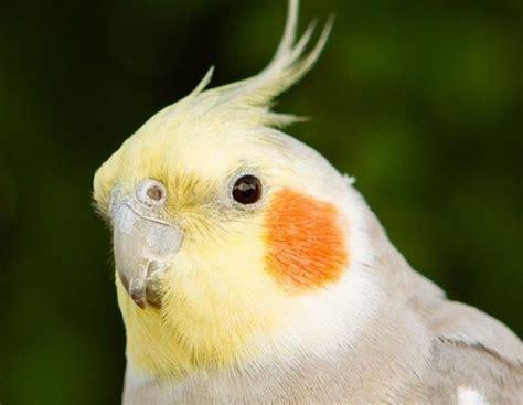 Las Ninfas: todo lo que debes saber para tener este pájaro ...