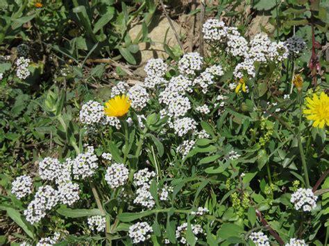 Las plantas comestibles y medicinales de la costa del ...