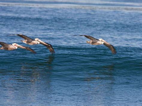Las poblaciones de aves marinas han menguado un 70% desde ...