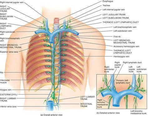 Las relaciones anatómicas importantes en el tórax ...