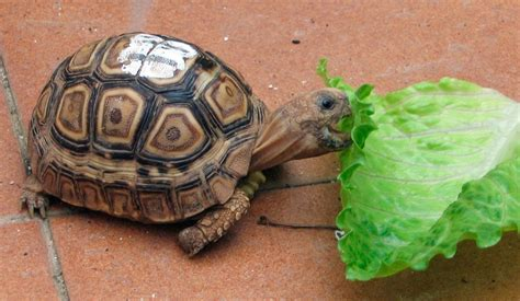 ¿Las tortugas de tierra solo comen lechuga? ️ ...