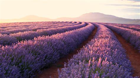 Lavender Fields 4k Ultra HD Wallpaper | Background Image ...