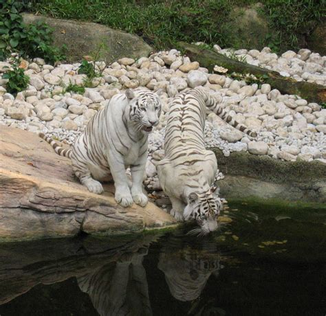 Le Bangladesh protège ses tigres   Blog Archipel des Sciences