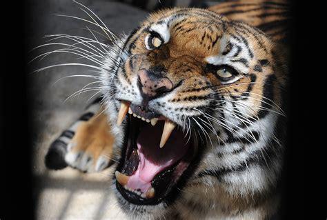 Le Bangladesh veut mieux protéger ses tigres du Bengale ...