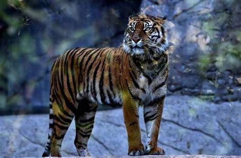 Le nombre de tigres sauvages augmente pour la première ...