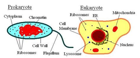 Learn Prokaryotes And Eukaryotes From Online Biology Tutor ...