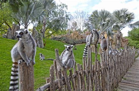 Lémures en la isla de Madagascar de BIOPARC Valencia. Más ...