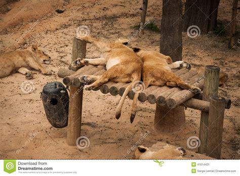 Leões No Jardim Zoológico De Lisboa Imagem de Stock ...
