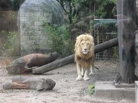 leones en el zoo de palermo   YouTube