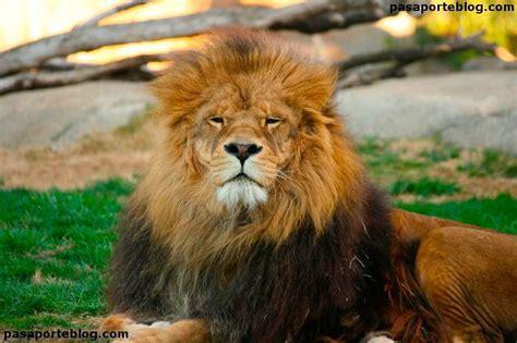 Leones en el zoo de Valencia | Zoo, Felinos, Animales