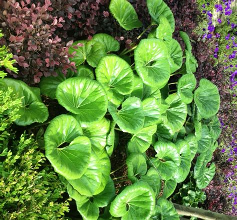 Leopard Plant: Striking foliage for the shade garden