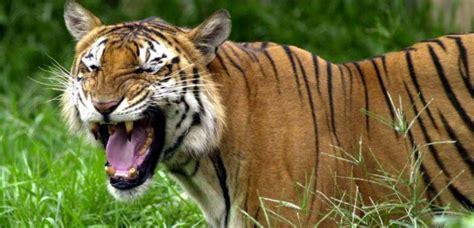 Les tigres se meurent au Bangladesh   Sciences et Avenir