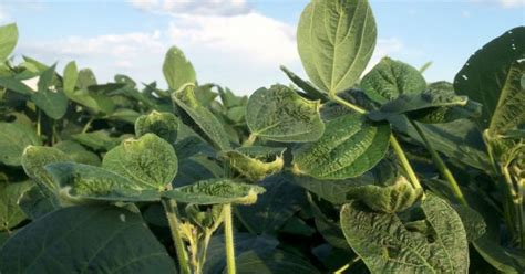 Leve repunte del precio de la soja en Rosario   Revista Chacra