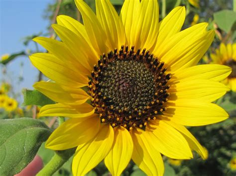 Life In The A Frame: Wild, Native Sunflowers