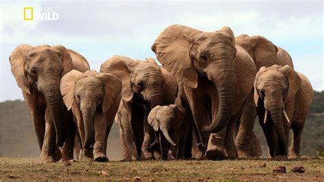 Life of Elephants [National Geographic Documentary HD 2017 ...