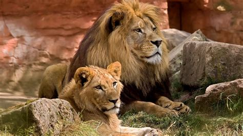 Lions in a zoo HD Wallpaper | Background Image | 1920x1080 ...