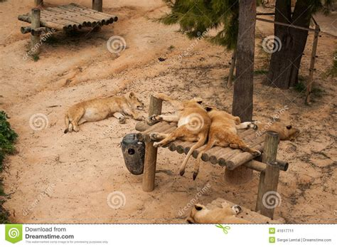 Lions In Lisbon Zoo Stock Photo   Image: 41617711