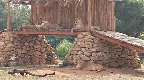 Lions   Picture of Jardin Zoologique National de Rabat ...