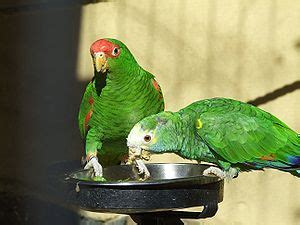 List of amazon parrots   Wikipedia