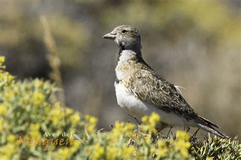 Listado de aves | Aves del Neuquen