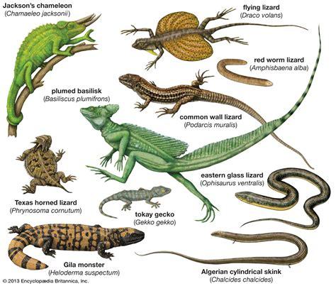 Lizard   reptile   Britannica