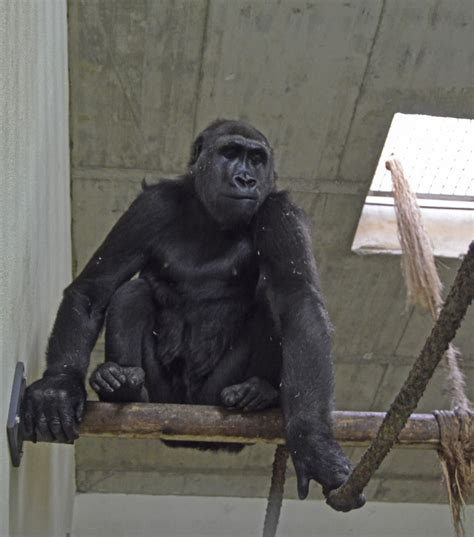 Llega una nueva hembra de gorila a Bioparc | Oconowocc