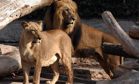 Lleó | Zoo Barcelona