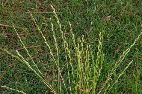 Lolium rigidum   Flora of Qatar