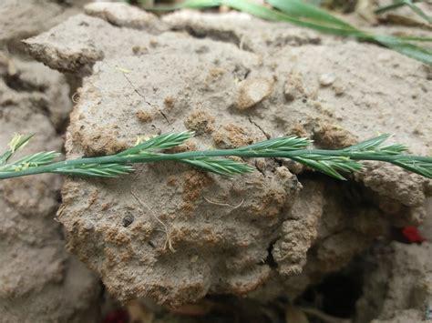 Lolium rigidum   Forestrypedia