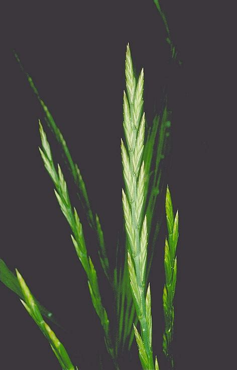 Lolium rigidum Gaudin | Plants of the World Online | Kew ...