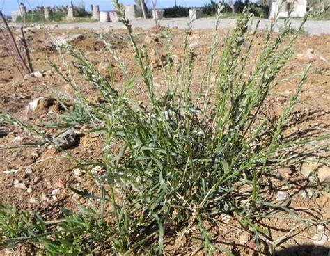 Lolium rigidum [Loglio rigido]   Flora Italiana