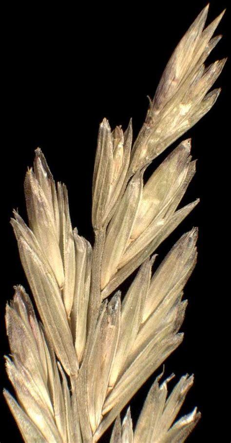 Lolium rigidum   Specie della flora italiana