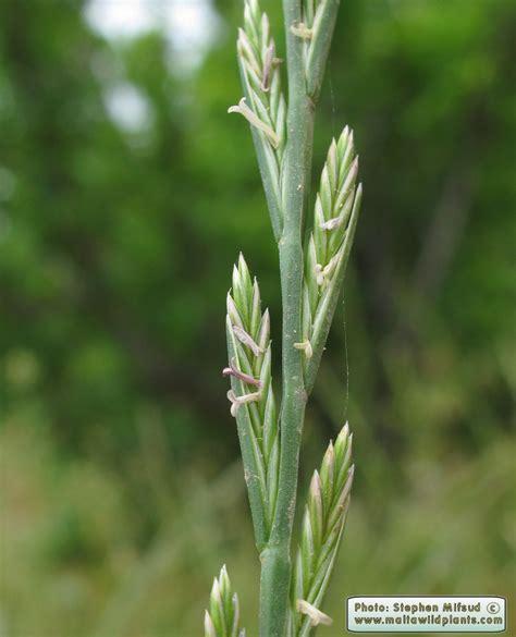 Lolium rigidum  Stiff Rye Grass  : MaltaWildPlants.com ...
