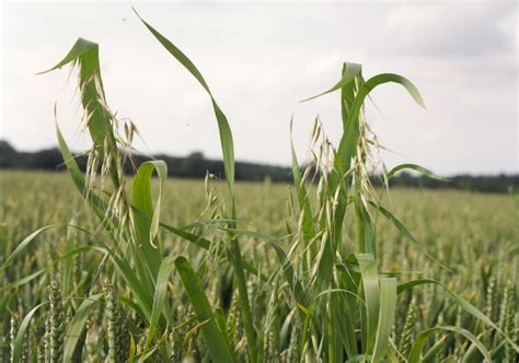 Look beyond the can to maximise wild oat control   cpm ...