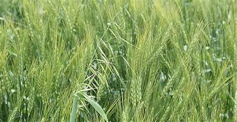 Look Beyond the Can to Maximise Wild Oat Control