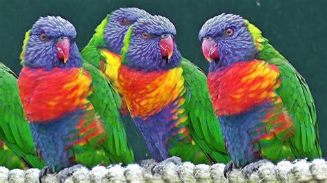 Lorikeets   Exotic Birds   YouTube