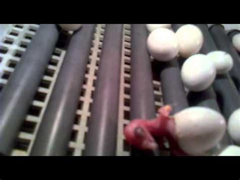 LORO NINFA papilleras criado a mano en beniel murcia ...
