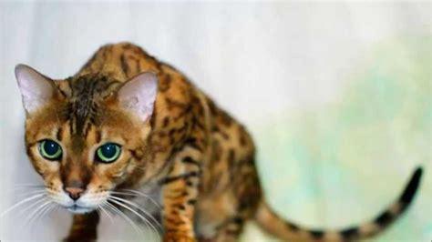 Los 10 Gatos mas caros del mundo  Felinos    YouTube