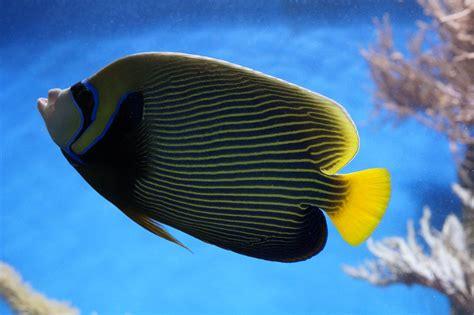Los 10 mejores tipos de peces de agua dulce   Animalear.com