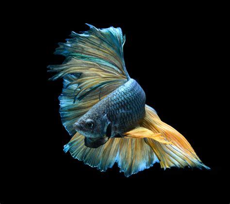 Los 11 tipos de PECES DE AGUA DULCE para acuario tropical ...