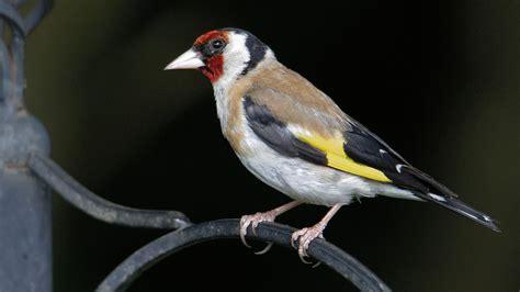 Los 5 pájaros que cantan mejor