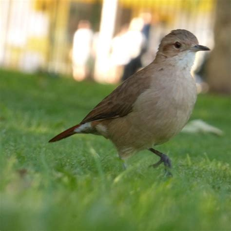 Los 8 pájaros más comunes de Buenos Aires – Mate & Colibri